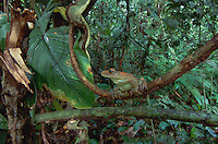 South American Map Tree Frog (Hyla geographica), adult perched on branch in rainforest, Tambopata Candamo Reserve, Peru