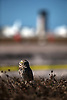 Several sets of burrowing owls have made their home at the Naples Municipal Airport in Naples. One pair's nest is in the middle of the current expansion of a runway at the airfield. The nest was their before the start of construction and the builders are going to great lengths to encourage the nesting pair to move offering pre-made nest made of flexible tubing connected to a five gallon bucket. Erik Kellar/Staff