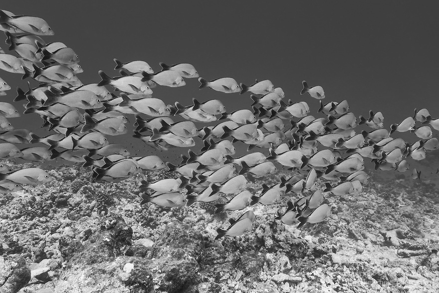 Rangiroa Atoll, Tuamotu Archipelago, French Polynesia; a school of humpback snapper fish swimming over the coral reef