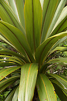 Close up of mountain cabbage tree, Egmont National Park, North Island, New Zealand, NZ