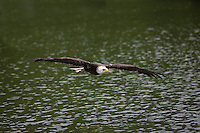 Bald Eagle (Haliaeetus leucocephalus) juvenile in flight over water.