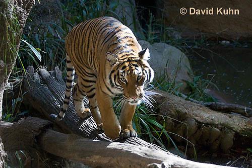0328-1006  Malayan Tiger, Panthera tigris malayensis  © David Kuhn/Dwight Kuhn Photography.