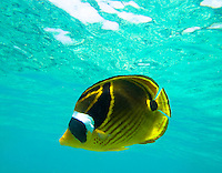 A side view of a raccoon butterflyfish off of Kahalu'u Beach Park, Big Island.