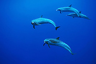 Pantropical Spotted Dolphins, Stenella attenuata, off Kona Coast, Big Island, Hawaii, Pacific Ocean.