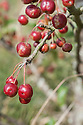 Siberian or Chinese crab apple (Malus baccata var. mandshurica), mid August.