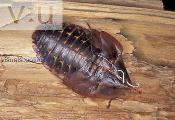 Shed skin or exuvium of the giant cockroach ,Blaberus giganteus,, which may reach a length of four inches. Note the white 'threads' present which are the shed linings of the tracheae. This is a tropical species sometimes sold in pet stores.