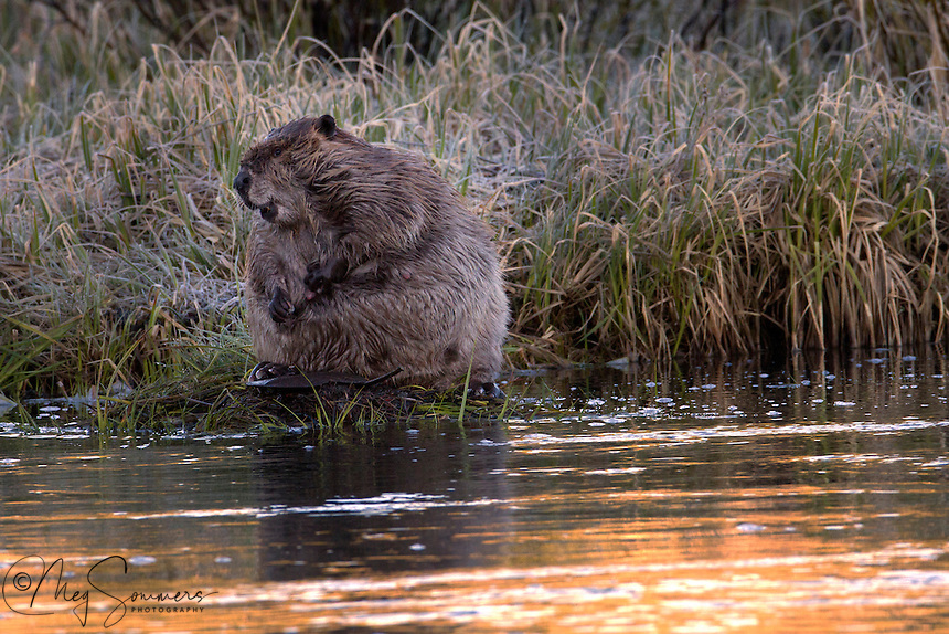 The beaver (genus Castor) is a primarily nocturnal, large, semi-aquatic rodent. Beavers are known for building dams, canals, and lodges (homes). They are the second-largest rodent in the world (after the capybara). Their colonies create one or more dams to provide still, deep water to protect against predators, and to float food and building material. The North American beaver population was once more than 60 million, but as of 1988 was 6-12 million. This population decline is due to extensive hunting for fur, for glands used as medicine and perfume, and because their harvesting of trees and flooding of waterways may interfere with other land uses. <br /> This beaver is obviously a nursing mother. <br /> The basic units of beaver social organization are families consisting of an adult male and adult female in a monogamous pair and their kits and yearlings. Beaver pairs mate for life; however, if a beaver's mate dies, it will partner with another one. In addition to being monogamous, both the male and female take part in raising offspring. They also both mark and defend the territory and build and repair the dam and lodge. When young are born, they spend their first month in the lodge and their mother is the primary caretaker while their father maintains the territory. In the time after they leave the lodge for the first time, yearlings will help their parents build food caches in the fall and repair dams and lodges. Still, adults do the majority of the work and young beavers help their parents for reasons based on natural selection rather than kin selection. They are dependent on them for food and for learning life skills. Young beavers spend most of their time playing but also copy their parents' behavior. However while copying behavior helps imprint life skills in young beavers it is not necessarily immediately beneficial for parents as the young beaver do not perform the tasks as well as the parents.