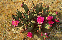 160950001 a wild flowering opuntia beavertail cactus opuntia basallaris sits in open arid ground in red rock canyon state park in south central california