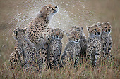 Female Cheetah (Acinonyx jubatus) shaking water off fur and soaking cubs, Masai Mara National Reserve, Kenya, Africa.