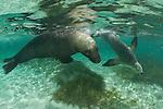 Australian Sea Lions (Neophoca cinerea) underwater with snorkler