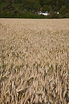 Wheat Field with House in the Background