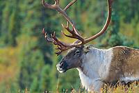 Bull Caribou, tundra, Denali National Park, Alaska