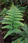 Indigenous palapali ferns (Microlepia strigosa) are seen throughout Kalopa State Park on the native plant loop trail, Hamakua Coast, Big Island.