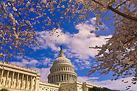 Cherry blossoms, U. S. Capitol, Washington D.C., U.S.A.