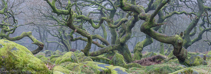 Sessile Oak {Quercus petraea} woodland supporting a dense carpet of mosses. Peak District National Park, Derbyshire, UK. February.