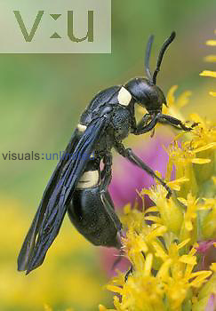 Potter Wasp ,Monobia quadridens,, Central USA.