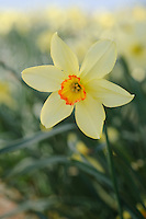 Narcissus 'Bath's Flame'