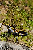 A young Fire Salamander (Salamandra salamandra), Europe