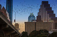 While bats have called Austin home for many years, it was after renovations to the Congress Avenue bridge over Lady Bird Lake (then called Town Lake) in 1980 that they found their favorite hangout. Narrow but deep openings created in the bridge turned out to be perfect accommodations.