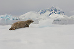 A crabeater seal lies on the snow and ice at Vernadsky Station in Antarctica.