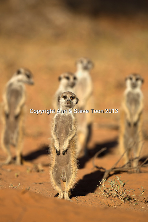 Meerkats (Suricata suricatta), Kgalagadi Transfrontier Park, Northern Cape, South Africa, January 2013