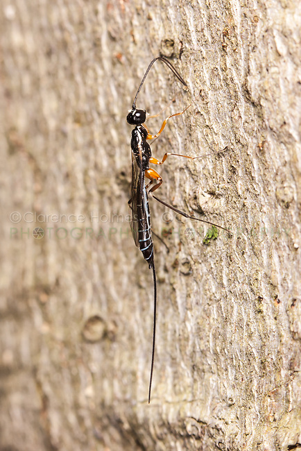 A female Ichneumon wasp (Rhyssella nitida) explores the side of tree with her antennae for larvae of wood-boring insects onto which she will oviposit her eggs.