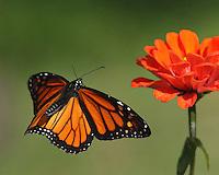 Monarch Butterfly on approach..