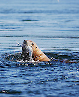 qd0193-D. Steller Sea Lion (Eumetopias jubatus) eating Spiny Dogfish Shark (Squalus acanthias). British Columbia, Canada, Pacific Ocean..Photo Copyright © Brandon Cole. All rights reserved worldwide.  www.brandoncole.com..This photo is NOT free. It is NOT in the public domain. This photo is a Copyrighted Work, registered with the US Copyright Office. .Rights to reproduction of photograph granted only upon payment in full of agreed upon licensing fee. Any use of this photo prior to such payment is an infringement of copyright and punishable by fines up to  $150,000 USD...Brandon Cole.MARINE PHOTOGRAPHY.http://www.brandoncole.com.email: brandoncole@msn.com.4917 N. Boeing Rd..Spokane Valley, WA  99206  USA.tel: 509-535-3489