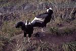 andean condors