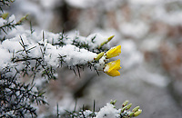 Snow Covered Gorse, Hampstead Heath, London