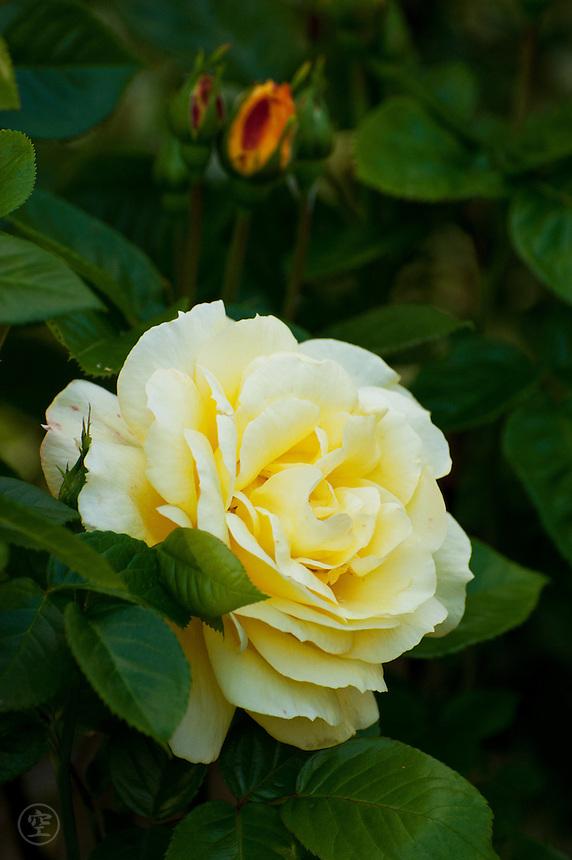 Yellow rose flower, Larkwhistle Gardens, Bruce Peninsula, Ontario, Canada.