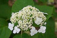 Hydrangea arborescens 'White Dome?
