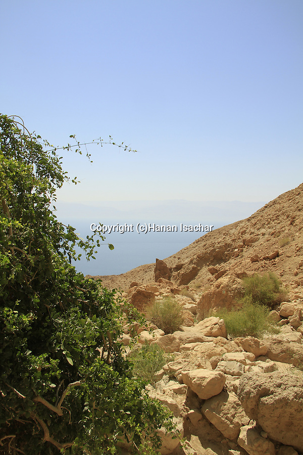 Salvadora Persica tree (Toothbrush tree, Mustard tree) in Nahal salvadora overlooking the Dead Sea