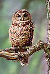 Northern Spotted Owl, Wenatchee National Forest, Washington