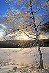 Glistening Ice Covered Birch Branches at Sunset on a Hilltop Pasture in Wintry New Hampshire