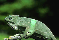 CH25-035x  African Chameleon - color change due to temperature difference, under leaf skin was cooler, see CH25-034z - Chameleo senegalensis.
