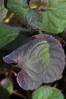 Viola riviniana Purpurea Group aka Viola labradoica purple and green foliage groundcover perennial for shade gardens