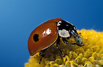 2 Spot Ladybird, Adalia bipunctata, adult feeding on aphid, on yellow flower, blue background, two.United Kingdom....