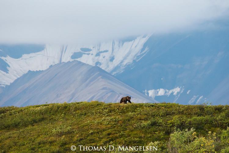 A grizzly bear walks a green hill in Denali National Park, Alaska.