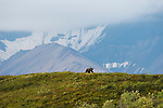 A grizzly bear walks a green hill in Denali National Park, Alaska.