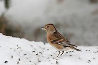 Bergfink, Berg-Fink, an der Vogelfütterung, Fütterung im Winter bei Schnee, frisst Körner am Boden, Winterfütterung, Weibchen im Schlichtkleid, Fringilla montifringilla, brambling, Pinson du Nord