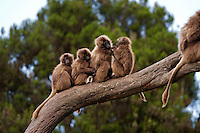 Gelada juveniles sitting on a branch (Theropithecus gelada), Simien Mountains National Park, Ethiopia.