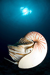 Chambered nautilus - nautilus pompilius
