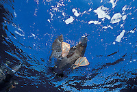 Brown footed Booby looking down through the water<br /> U.S. Virgin Islands