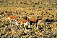 Vicuñas (Vicugna vicugna) in the Central Andean Puna, a high-elevation montane ichu grassland, Pampa Galeras National Reserve, Ayacucho, Peru.