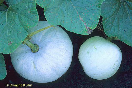 HS24-131a  Pumpkin - white pumpkin in garden - Lumina variety