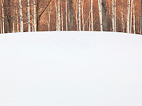 Birch trees in woodland in Niseko, Hokkaid?, Japan