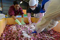 """Staff mixing yaezakura cherry blossom, salt and """"ume"""" plum juice at a processing facility. Matsukawa-city, Nagano Prefecture, Japan, April 26, 2013. Farmers in the Matsukawa area of Nagano prefecture grow yaezakura cherry blossom to be used as an ingredient in Japanese cakes, sweets and other foods."""