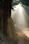 Termite Mound with sunlight streaming through trees, Corbett National Park, Uttarakhand, Oldest National Park in India, named after Jim Corbett hunter turned conservationist, Northern India.India....