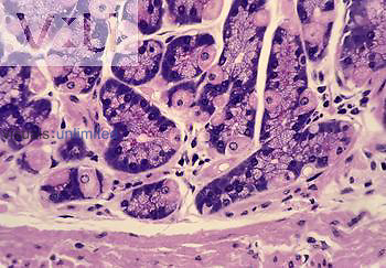 Section of the stomach fundus glandular epithelium. LM.